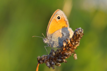 Butterfly in natural habitat (Coenonympha pamphilus)