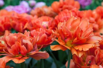 Fototapete - OrangeTulips in Keukenhof Garden, Lisse, Netherlands