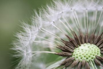 dandelion closeup