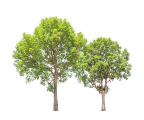 Irvingia malayana also known as Wild Almond trees
