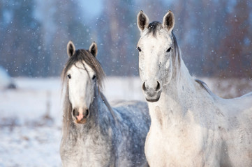 Wall Mural - Portrait of two grey horses in winter