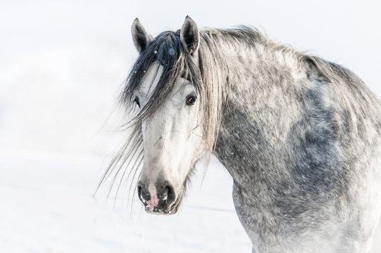 Portrait of grey shire stallion in winter