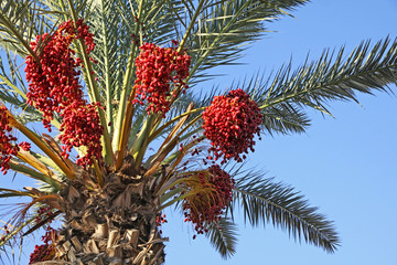 Close-up date palm tree with dates