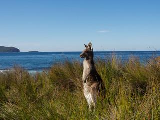 Printed kitchen splashbacks Australia kangaroo keeping watch at the beach