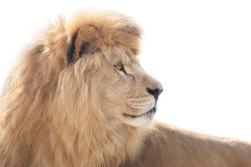 Fototapete - Beautiful and powerful lion wisely looking into distance