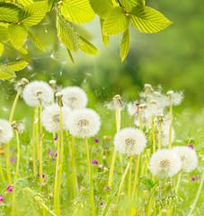 Natur Hintergrund Pusteblume
