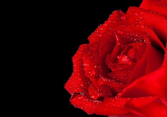 red rose on black background, valentine day and love concept