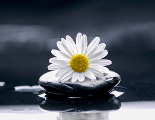 Poster Spa White daisy with pebbles on wet background