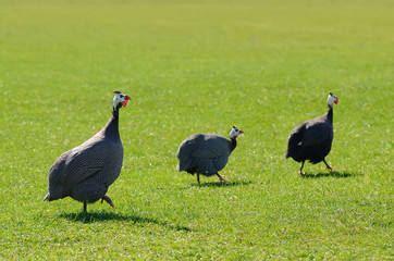 Guinea fowl on green grass
