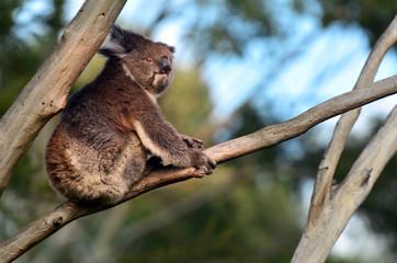 Koala sit on an eucalyptus tree