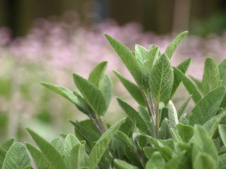 Sage in the herbal garden