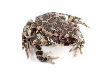Green toad (Bufo viridis) isolated on white