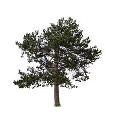 pine isolated on white background