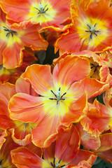 Orange Tulips in close up