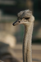 Ostrich / Avestruz