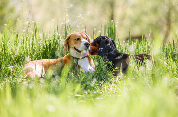 Beagle and dachshund  lying in grass
