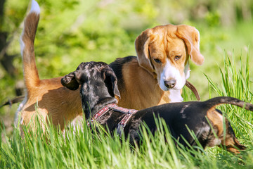 Beagle and dachshund playing together in grass