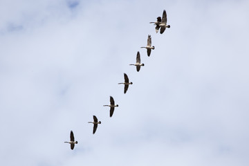 Canada Geese Formation