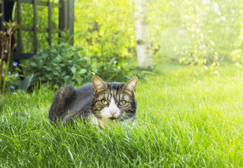 Gray cat with white chest and pink nose in garden grass