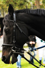 portrait of a racehorse thoroughbred horse