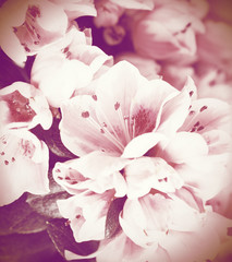 Flowers of an azalea close up