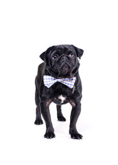 Black pug with a bow tie.