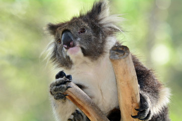 Koala sit on an eucalyptus tree
