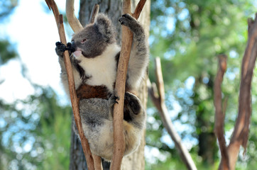 Koala climb on an eucalyptus tree