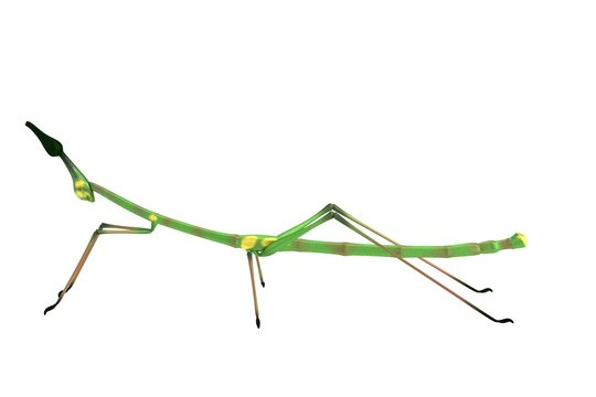 realistic 3d render of stick insect