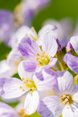 Fotobehang Pansies Cuckoo flower (Cardamine pratensis)