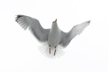 Herring gull flying against white sky.