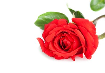 red rose with leafs on white background with space for text