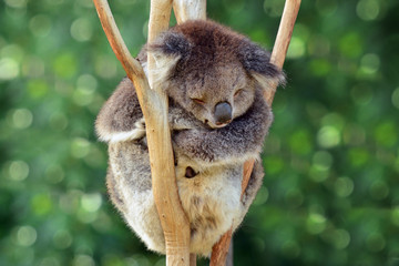 Koala sleep on an eucalyptus tree