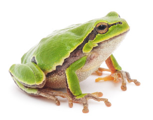 Photo sur Toile Grenouille Tree frog