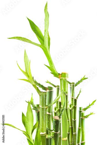 Lucky bambou photo libre de droits sur la banque d 39 images image 64431181 - Lucky bambou acheter ...