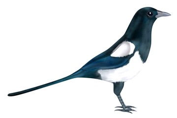 realistic 3d render of magpie