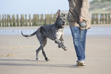 Deutsche Dogge, Hundeerziehung am Strand