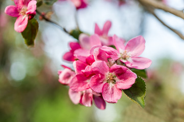 pink blossom apple flowers