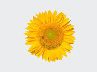yellow sunflower with bee isolated