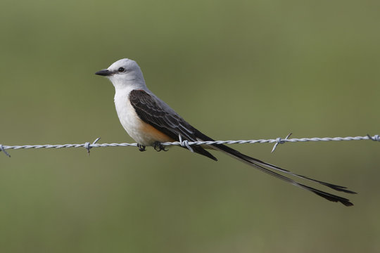 Male Scissor-tailed Flycatcher Perched on Fence Wire - Texas