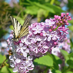 Butterfly sits on a lilac flowers