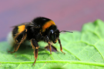 Detail of  bumble-bee