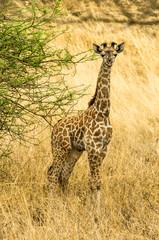 Wall Mural - Cucciolo di giraffa