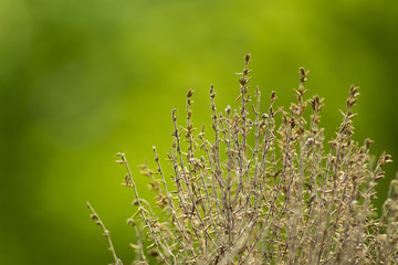 dried thyme herb on a green background