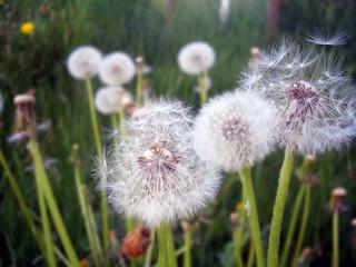 Pusteblumen auf der Wiese
