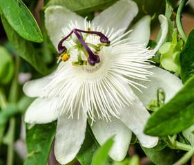 Wall Mural - Passionsblume: Passiflora Subpeltata