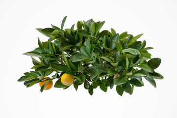 Lemon tree-top