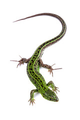 Sand lizard (Lacerta agilis) isolated on white