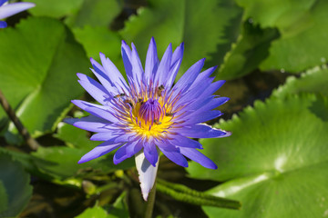 Purple lotus blossoms blooming on pond
