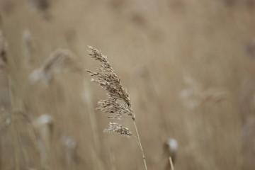 Reed at the river Ryck in Mecklenburg-Vorpommern, Germany.